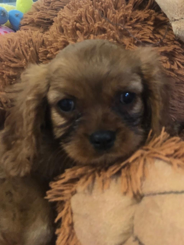 Roblyn Park Puppies | food | 2378 Bruthen-Buchan Rd, Buchan VIC 3885, Australia | 0427559422 OR +61 427 559 422