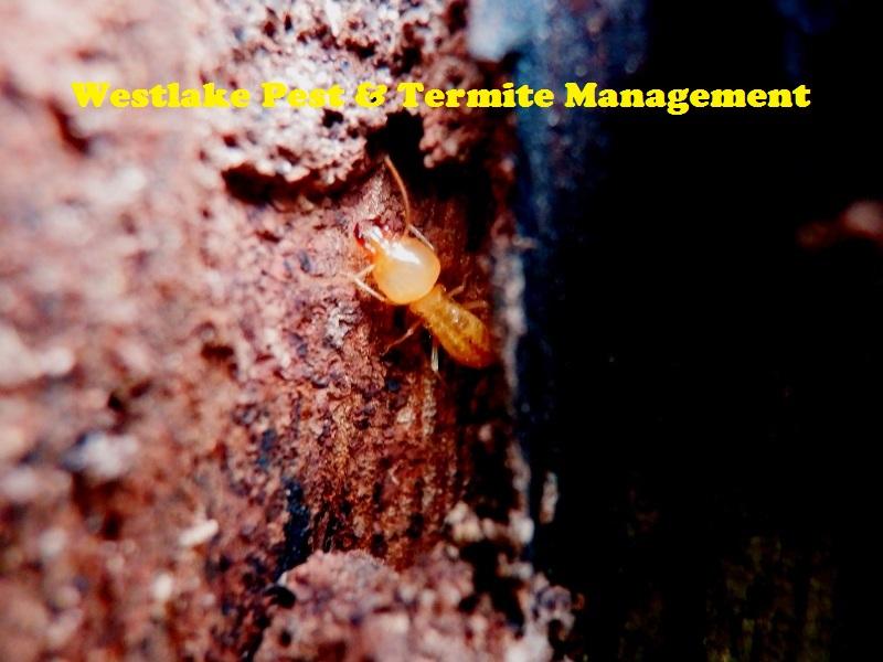 Westlake Pest & Termite Management | home goods store | 260 Horizon Dr, Westlake QLD 4074, Australia | 0409488016 OR +61 409 488 016
