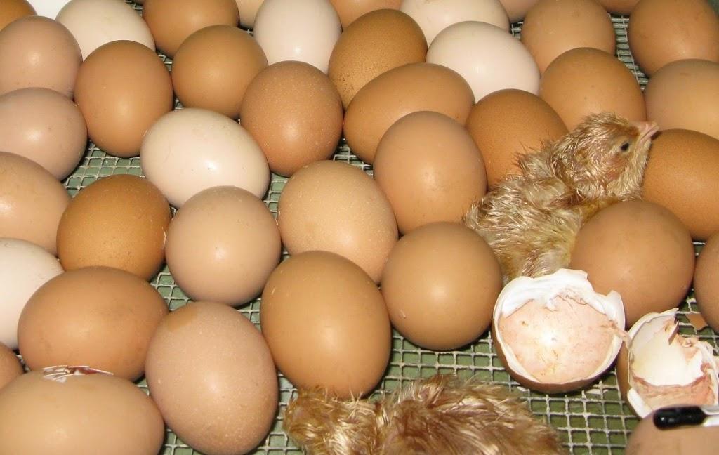 Laymour Poultry Farm      472 Windsor Rd, Vineyard NSW 2765, Australia   407766691 OR +61 407 766 691