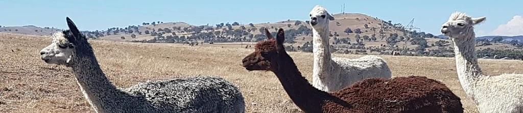 Laide & Co Alpacas | food | 140 Dog Trap Rd, Marchmont NSW 2582, Australia | 0455347787 OR +61 455 347 787