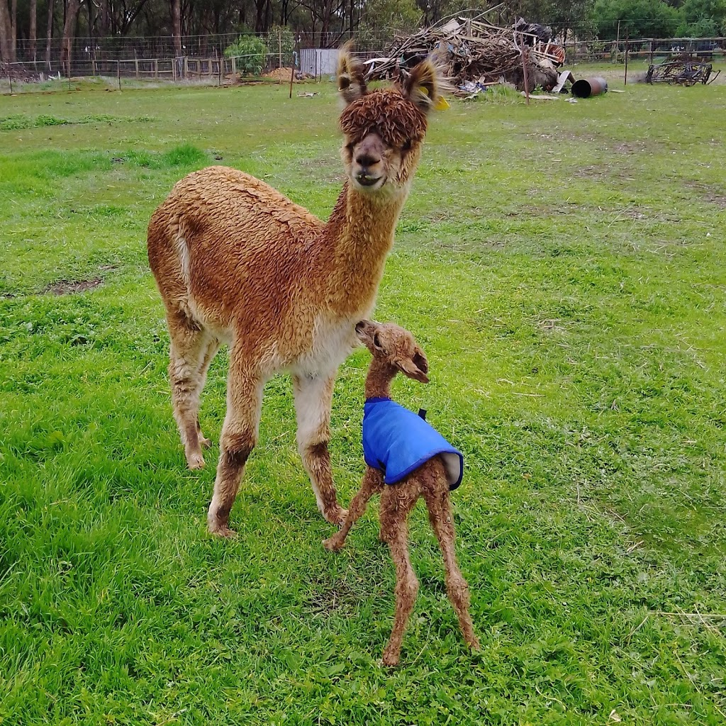 Dundreugan Alpacas   food   One Eye Forest Rd POB 629, Heathcote VIC 3523, Australia   0425738660 OR +61 425 738 660
