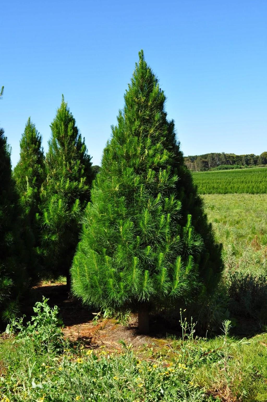 Colac Christmas Tree Farm | point of interest | 5855 Princes Hwy, Irrewarra VIC 3249, Australia | 0499900885 OR +61 499 900 885