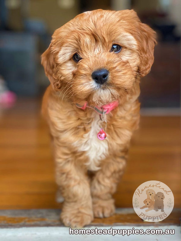 Homestead Puppies - Dog Breeder Cavoodle Moodle | point of interest | Greens Rd, Melton South VIC 3338, Australia | 0413812603 OR +61 413 812 603