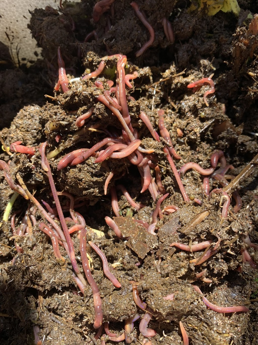 Central coast compost worms | point of interest | 9 Woodville Rd, Wyee NSW 2259, Australia | 0447561350 OR +61 447 561 350
